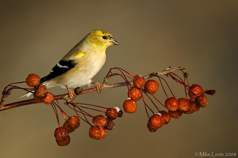 Goldfinch on winter berries
