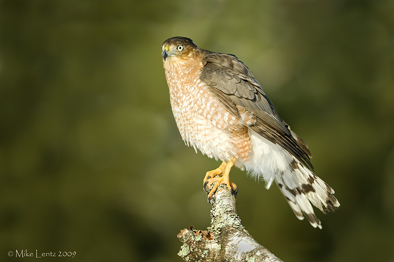 Coopers Hawk on hunting perch