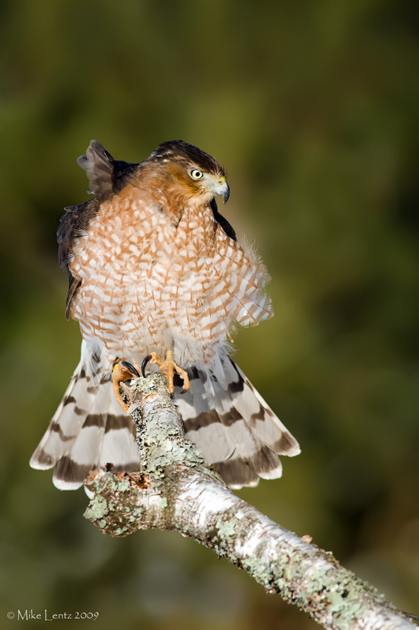 Coopers hawk hunting