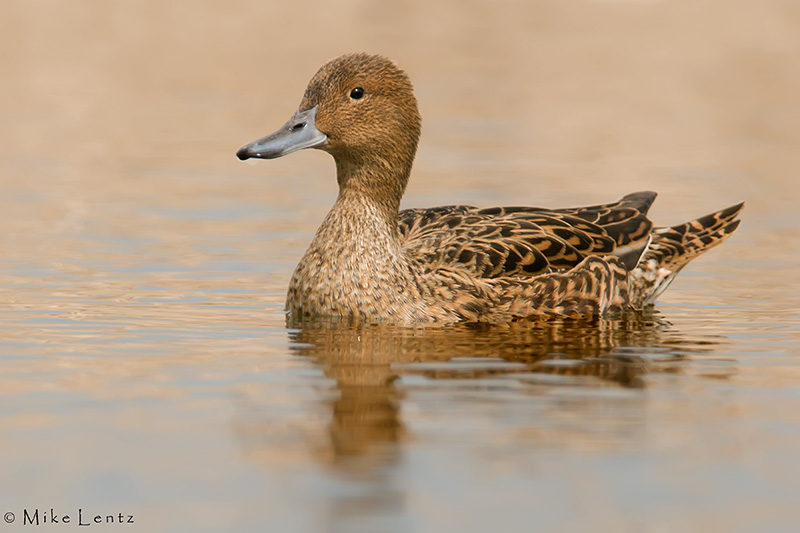 Pintail (profile)
