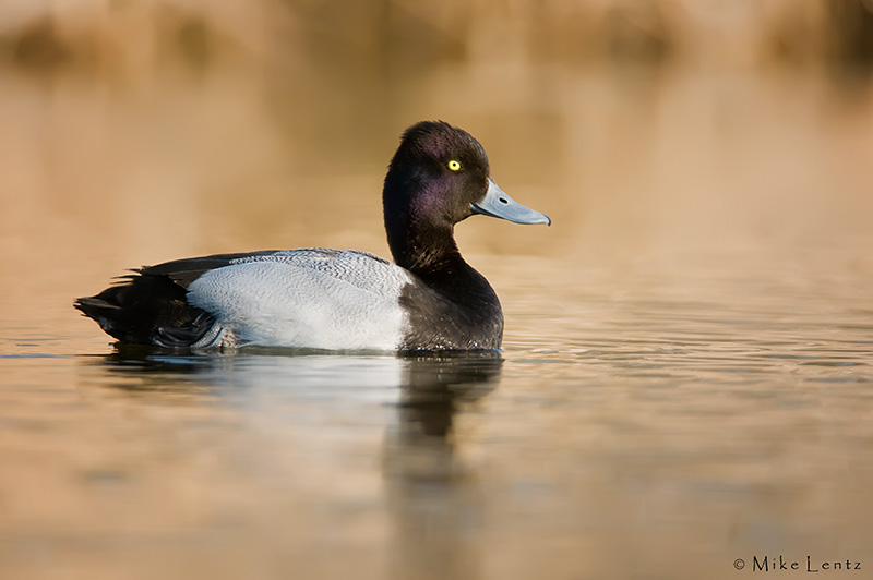 Greater Scaup (Drake)