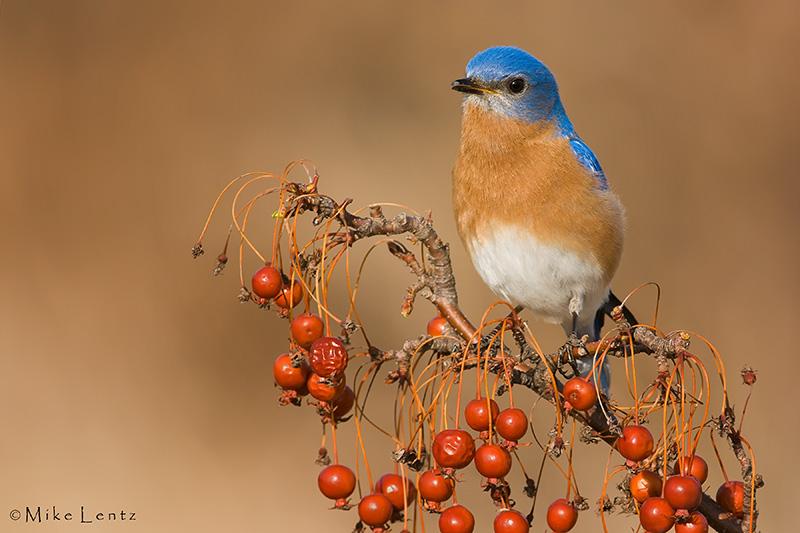 Bluebird male on berries