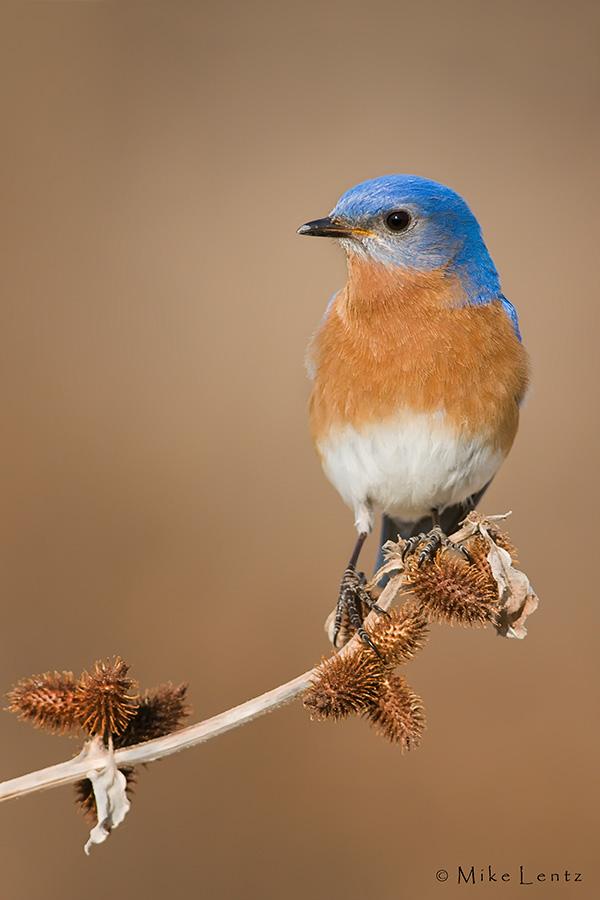 Bluebird on burdock