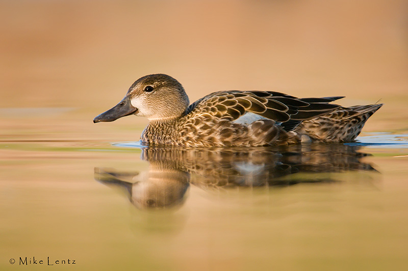 Blue winged teal  (hen)