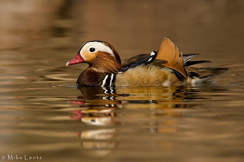 Mandarin Duck on golden waters
