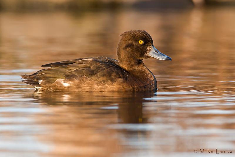 Tufted-Duck (juvenile) non breeding plummage