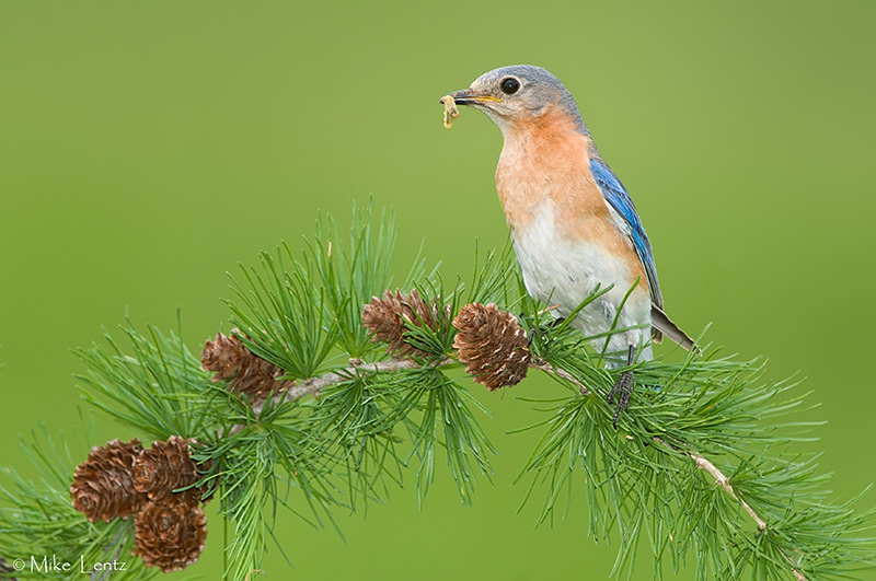 Eastern Bluebird with food