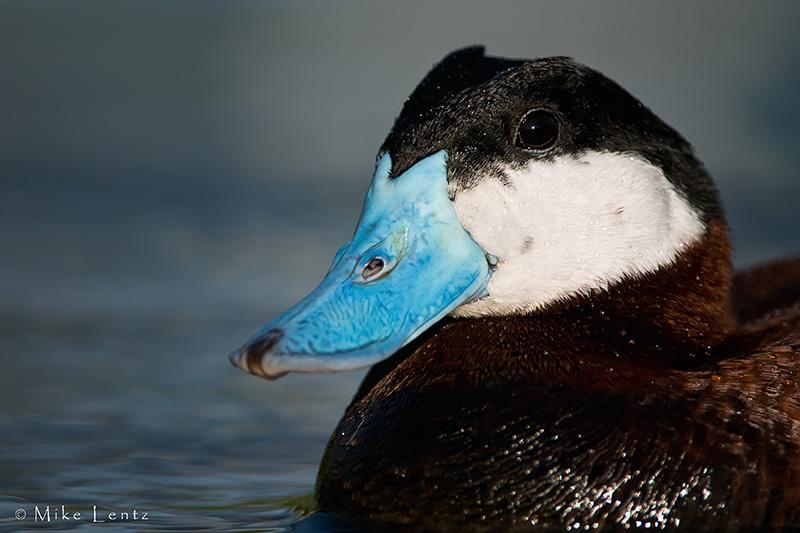 Ruddy Duck (headshot portrait)