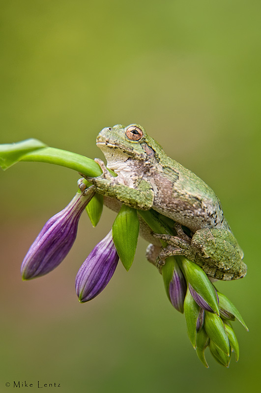 Tree frog on Hosta flower stem