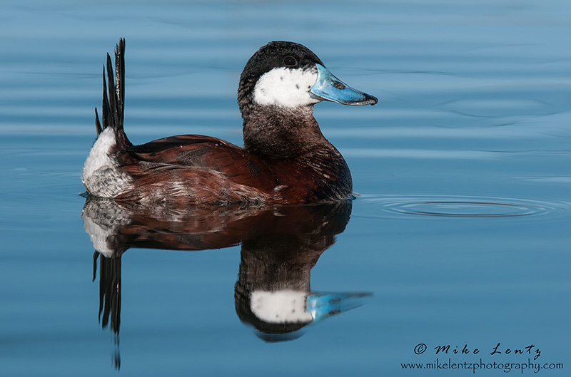 Ruddy Duck (Drake)