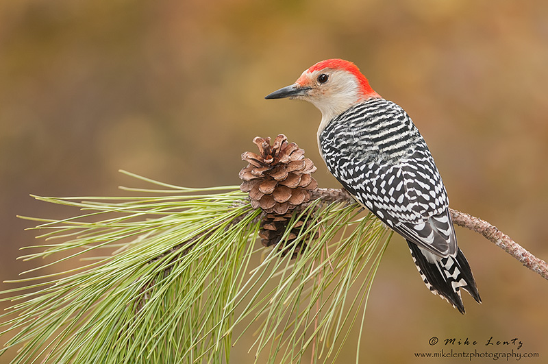 Red bellied Woodpecker on pine cone