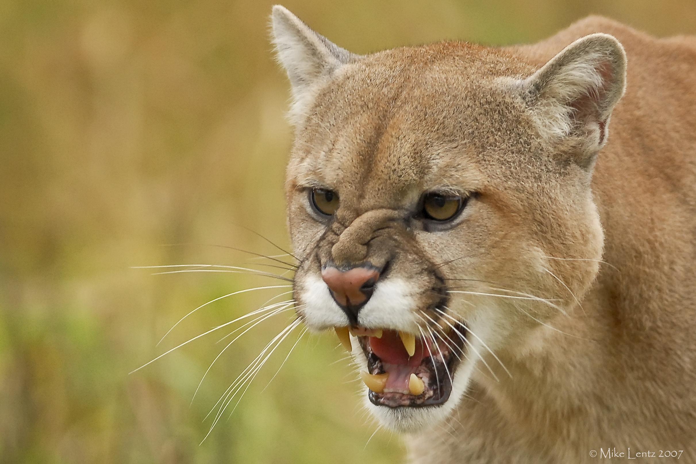 Cougar snarl