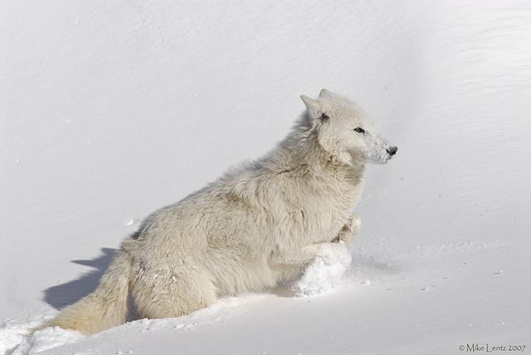 Arctic Wolf uphill climb