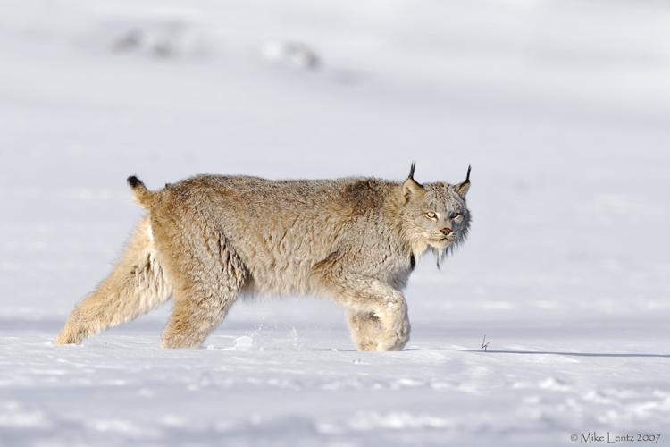 Lynx stalking