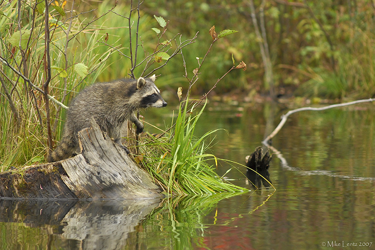 Racoon on point