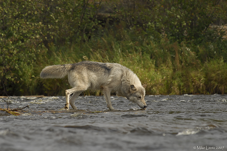 Wolf water sniff
