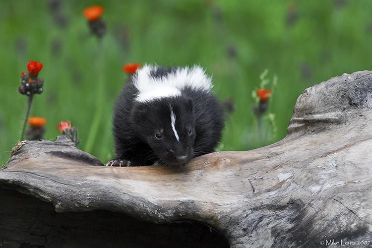 Skunk baby on log