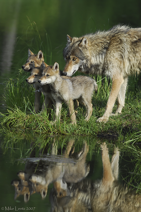 Wolf and three pups