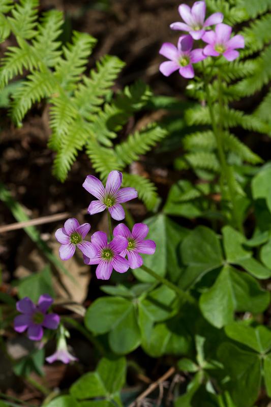 Pink oxalis & ferns
