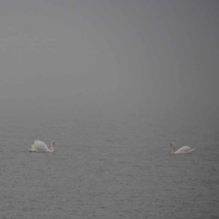 Swans - through the fog.  See #2 Below.