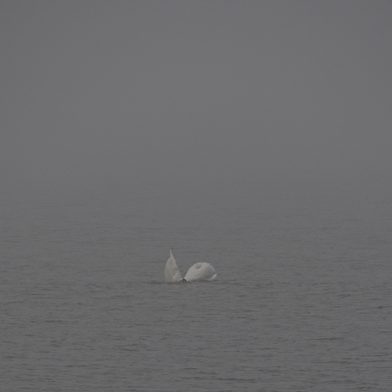 Swans - through the fog #2, See #1 below