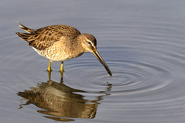 Dowitcher with very small critter.