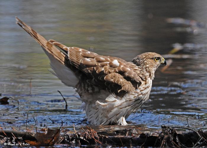 20090415 082 Coopers Hawk (F, juv).jpg