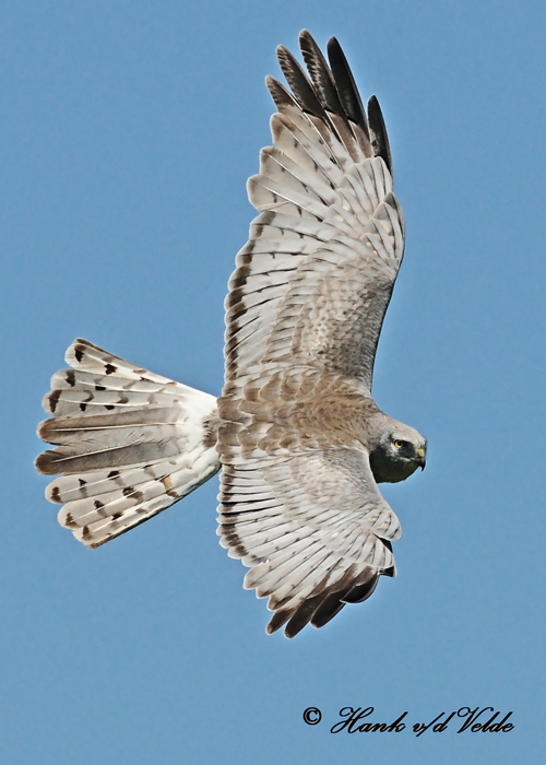 20110603 727 Northern Harrier2 HP xxx.jpg