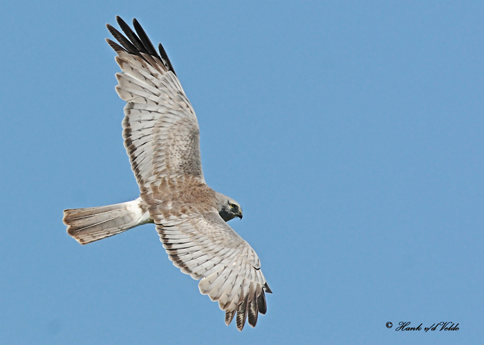 20110603 316 SERIES - Northern Harrier.jpg