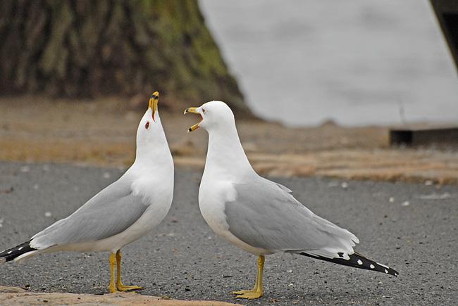 20070417 036 Sea Gulls.jpg
