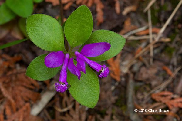 Fringed Polygala (<em>Polygala paucifolia</em>)