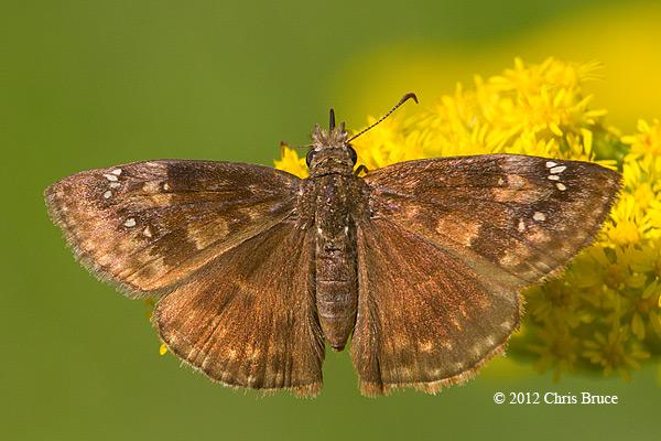 Wild Indigo Duskywing (<em>Erynnis baptisia</em>)