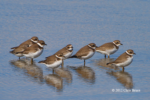 All The Kings Plovers