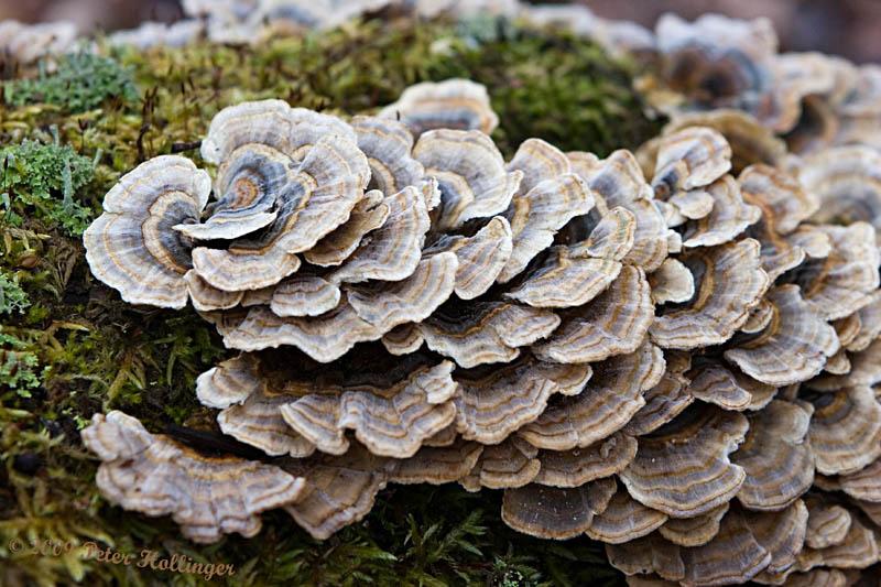 Turkey Tail Fungus