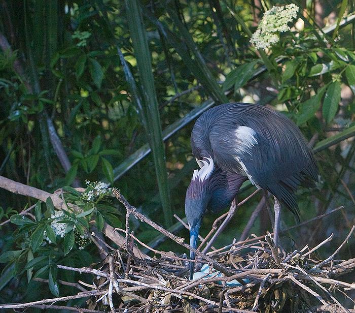 Tricolored Heron turns eggs