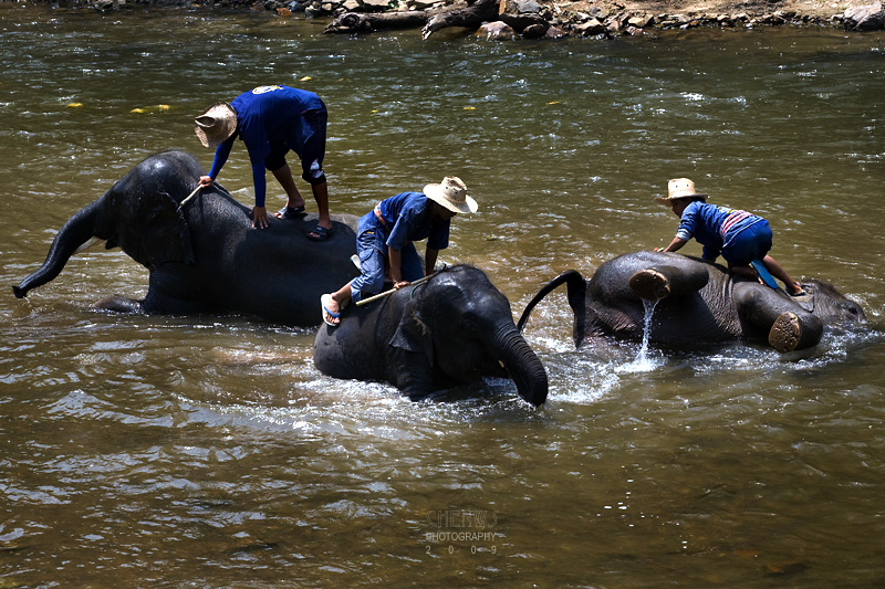 Young elephants taken for a bath in the river