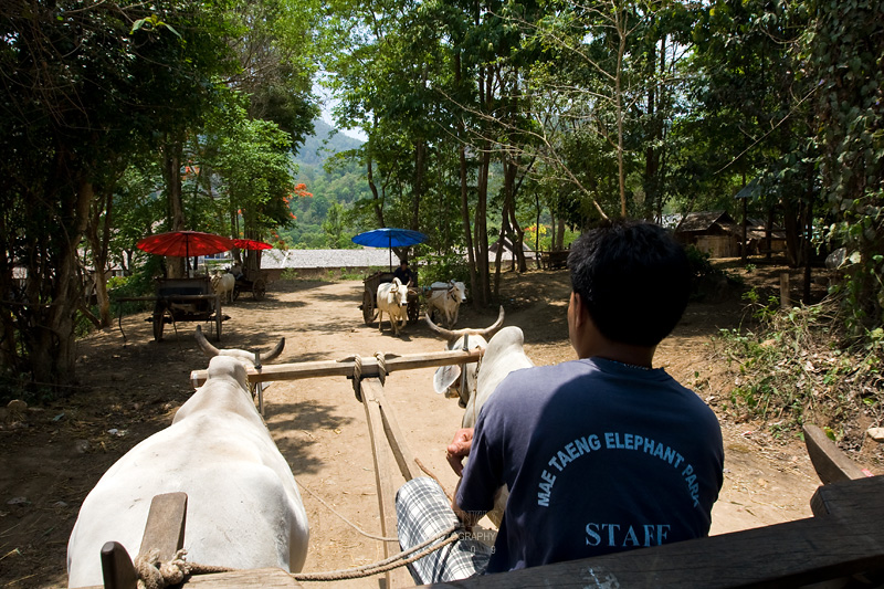 On ox-cart taking me to the next destination