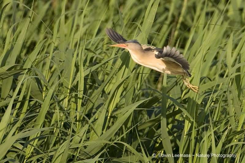 Little Bittern - Woudaap