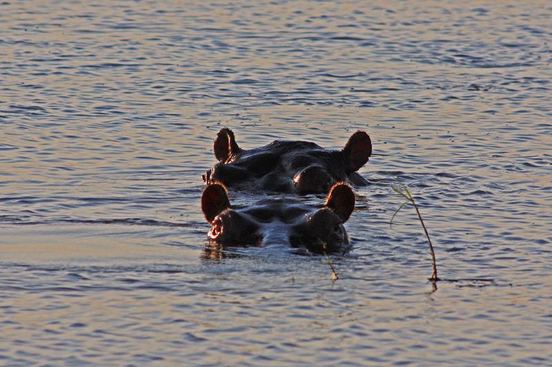 Two Hippopotami, Chobe National Park