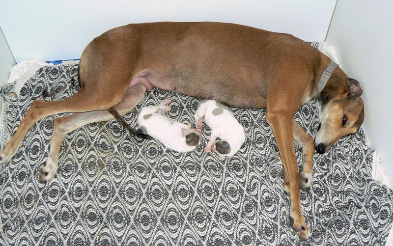 Contented Greyhounds