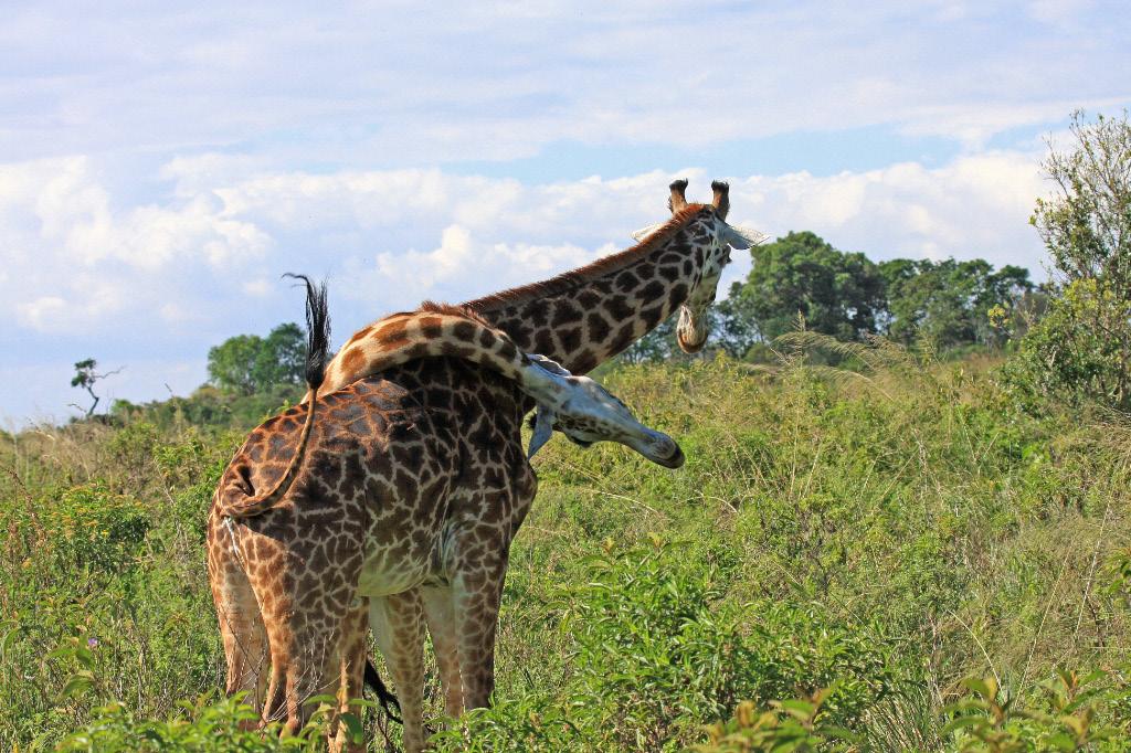 Giraffe Competition