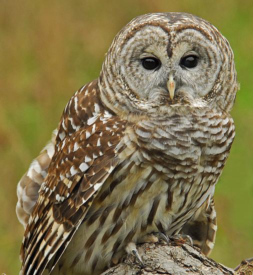 Barred or Hoot Owl 1