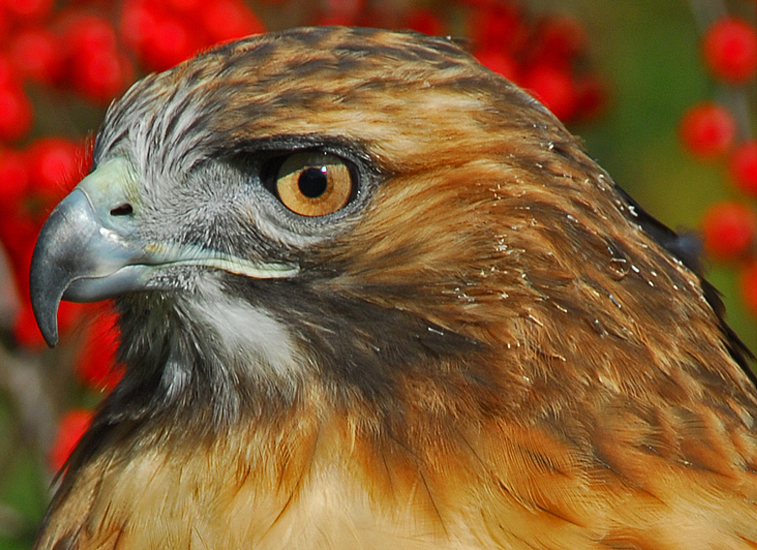 Red-Tailed Hawk 3 (Molting)