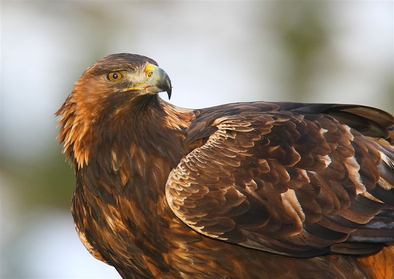 Golden Eagle  Norway