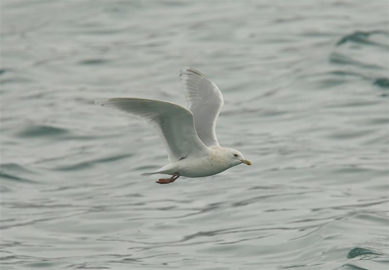 Kumliens Gull   Norway
