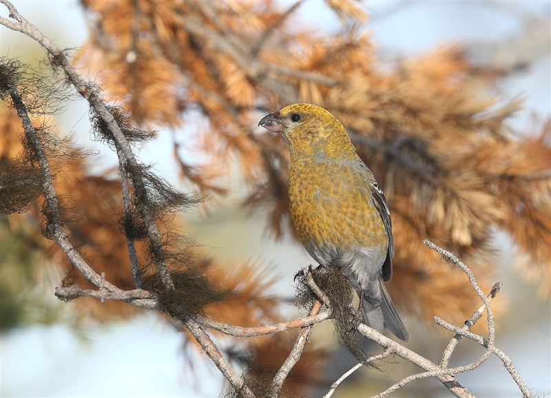 Pine Grosbeak   Finland