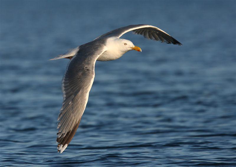 Herring Gull   Norway
