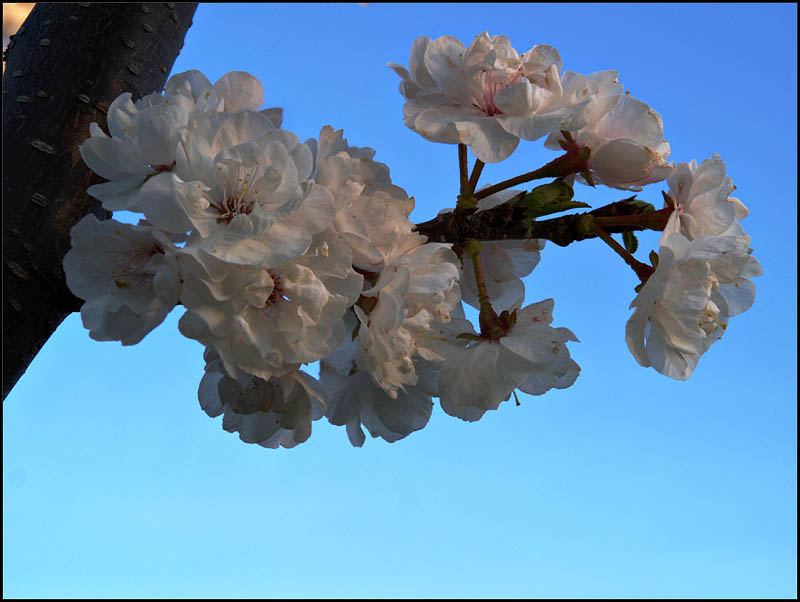 cherry blossoms - brent