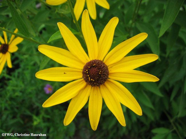Black-eyed susan (<em>Rudbeckia</em> sp.)