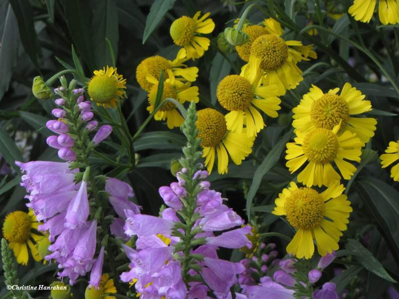 Late summer flowers: Obedient plant and Sneezeweed